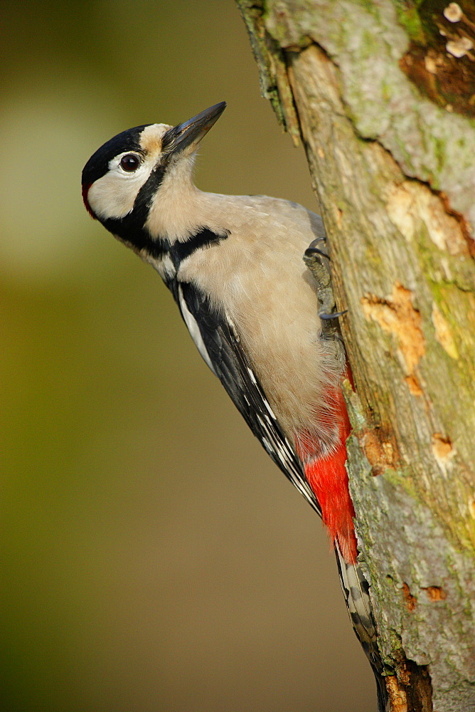 Great Spotted Woodpecker on a tree trunk, Ardennes Belgium