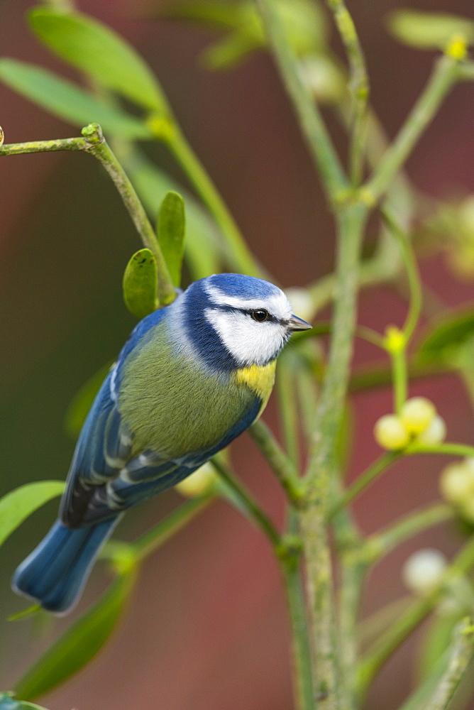 Blue tit on Mistletoe, Picardy France