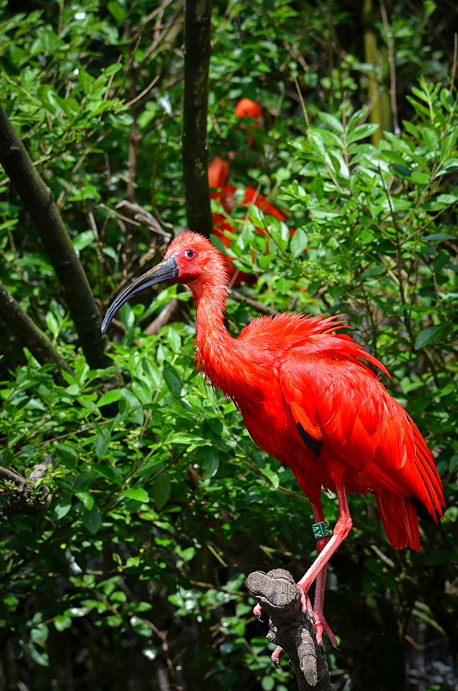 Scarlet Ibis on a branch, France Parc des Oiseaux