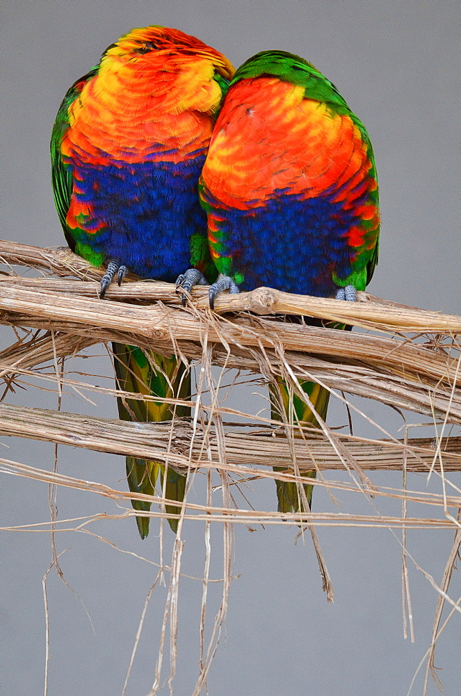 Rainbow  Lorikeets on a liane, France Parc des Oiseaux
