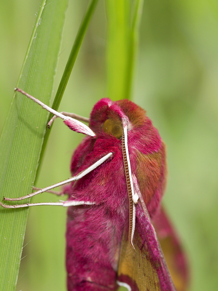 Small Elephant Hawk-moth on blade of grass, France