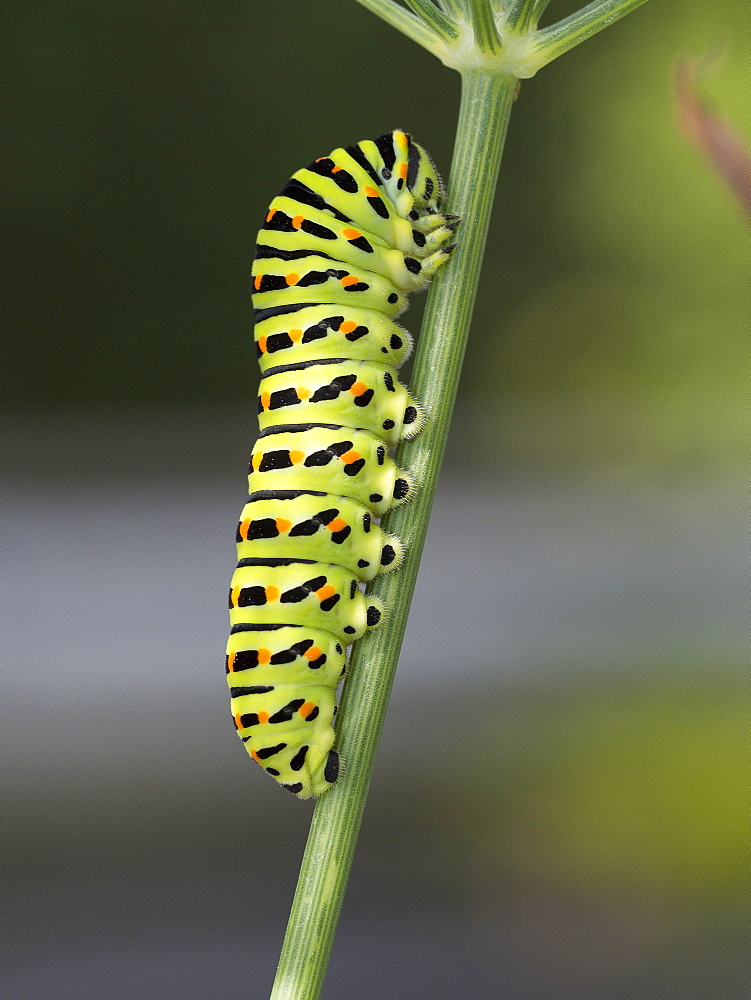 Swallowtail caterpillar on Fennel, Franche-Comté France