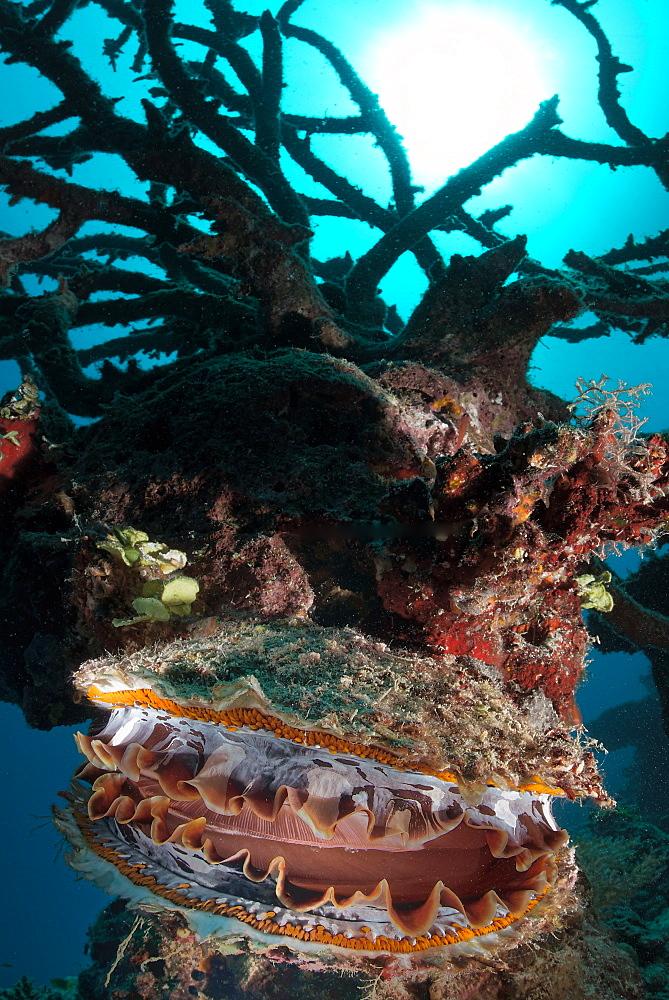 Thorny oyster on reef, Vava'u  Tonga