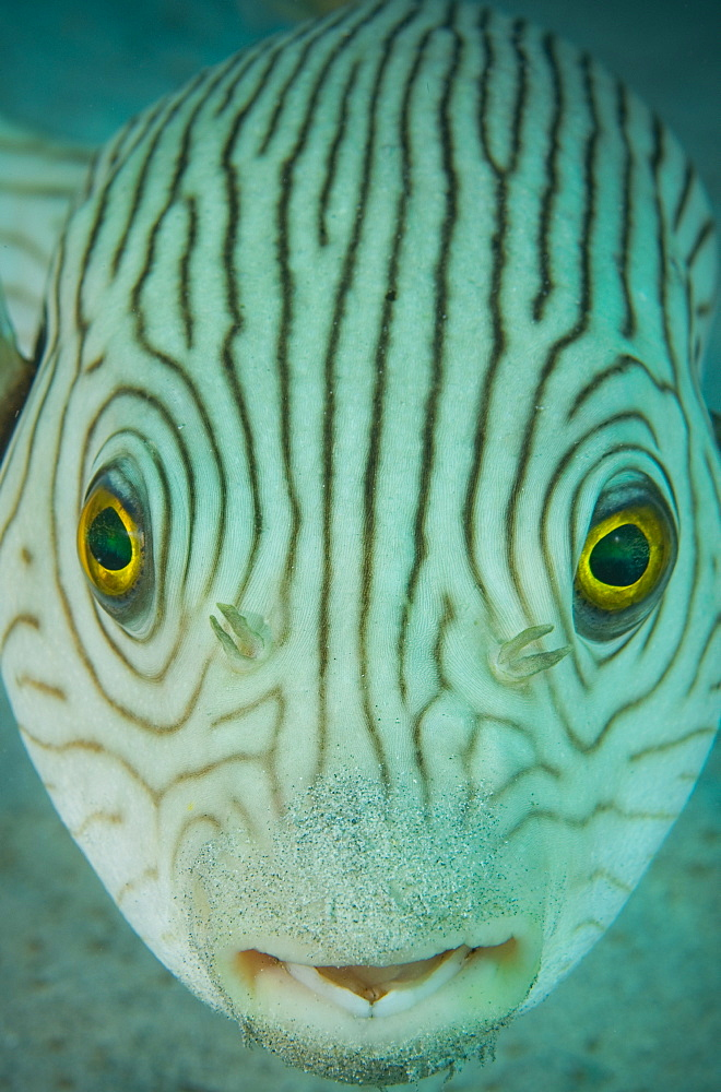 Portrait of Narrow-lined puffer, Tonga