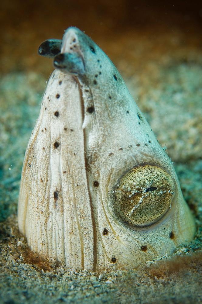 Portrait of Snake eel, Tonga