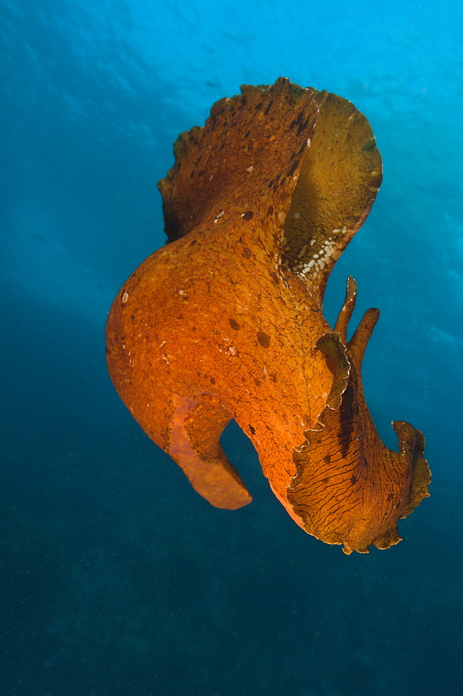 Variable sea hare, Poor Knights Reserve  New Zealand