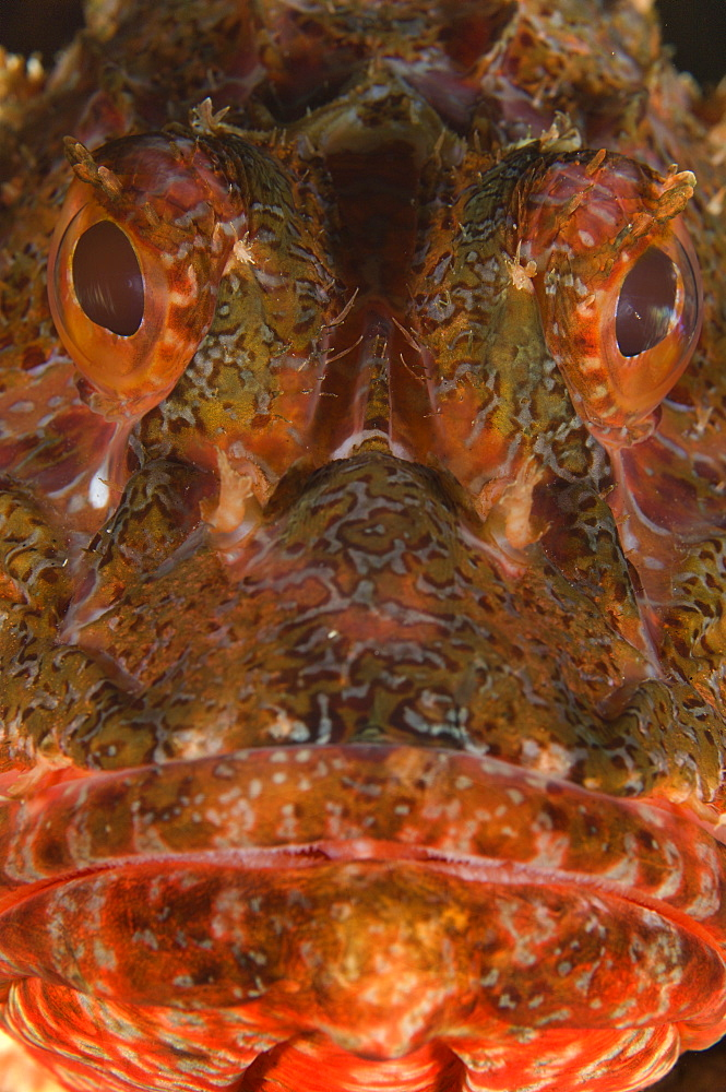 Portrait of Eastern red scorpionfish, New Zealand