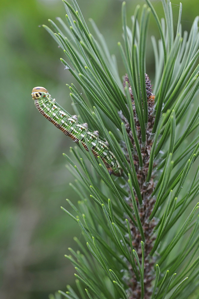Sphynx caterpillar pine on needles, Lorraine France