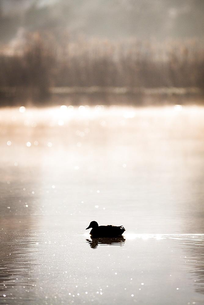 Mallard duck on Lac de Monieux in Vaucluse, France