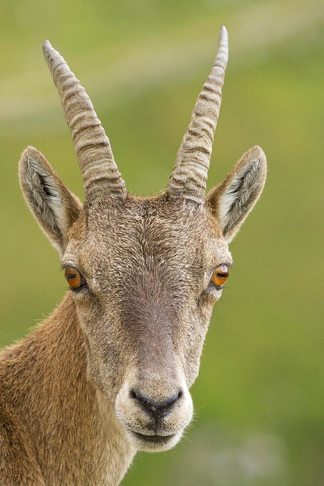 Portrait of Female Ibex, Vanoise Alps France