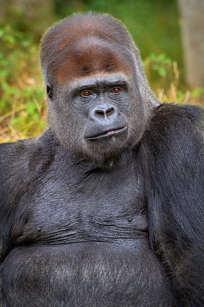 Western Lowland Gorilla, Monkey Valley France