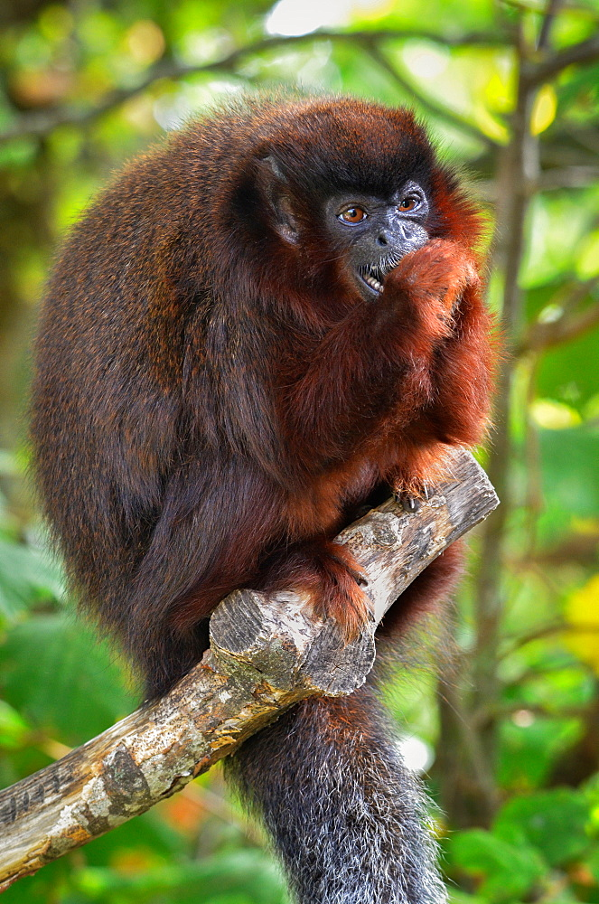 Red Titi Monkey eating a nut, Monkey Valley France