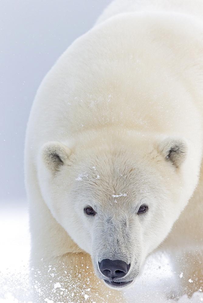 Portrait of Polar bear in snow, Barter Island Alaska
