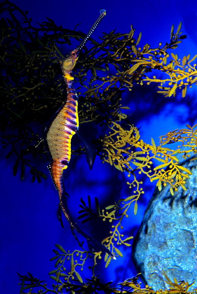 Common sea dragon, Aquarium Singapore