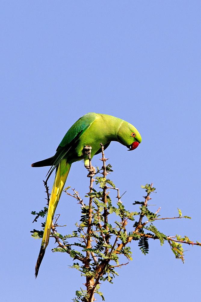Alexandrine Parakeet on a branch, Bera Rajasthan India