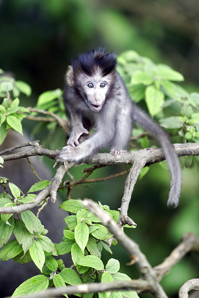 Young Long-tailed macaque on a branch, Indonesia
