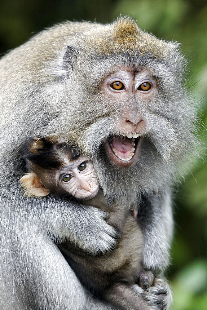 Long-tailed macaque female and young, Indonesia