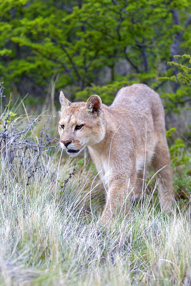 Puma in the scrub, Torres del Paine Chile