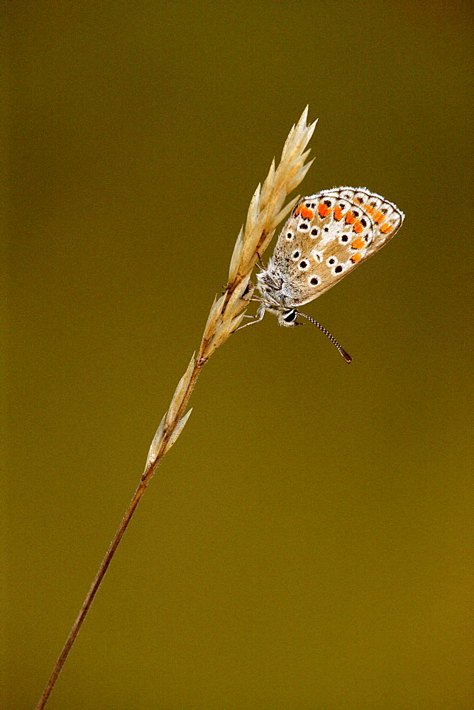 Brown Argus on grass, Picardy France