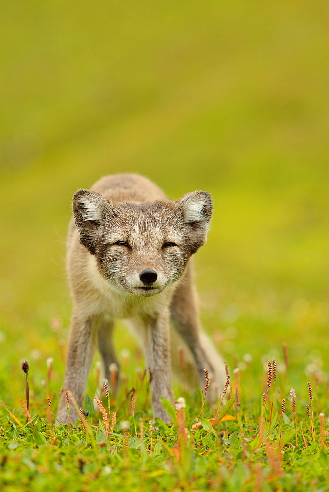Arctic fox in the grass, Cliff Hornstrandir Iceland