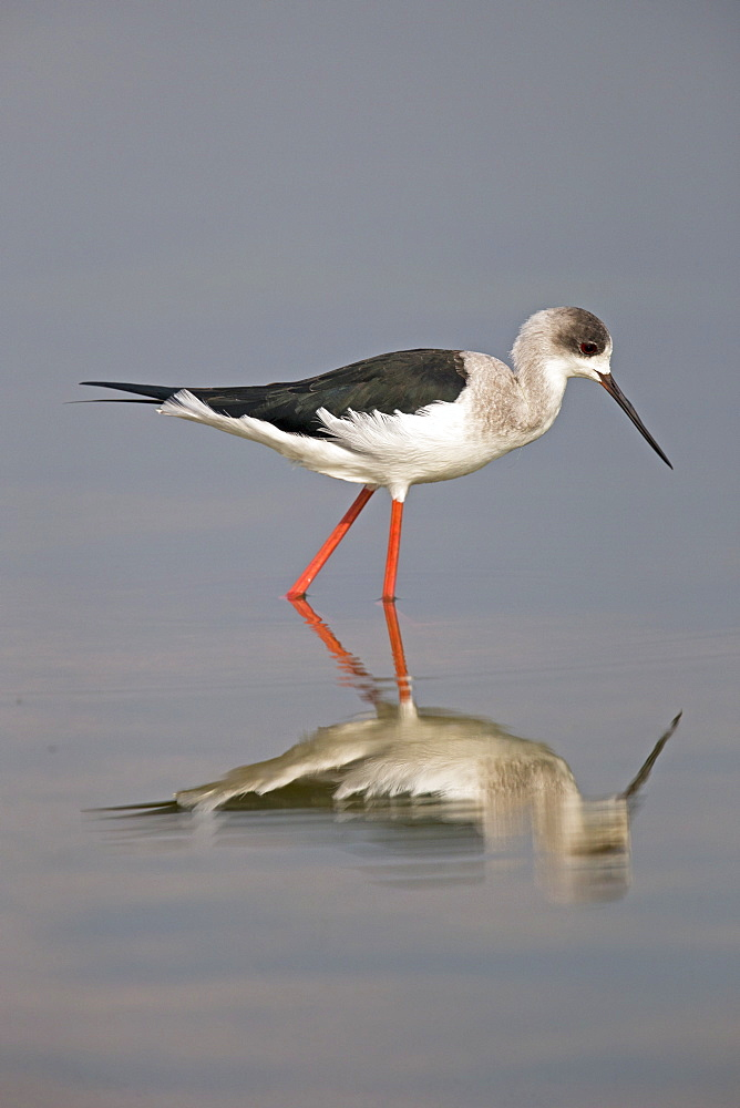 Black-winged Stilt in water, Rajasthan India