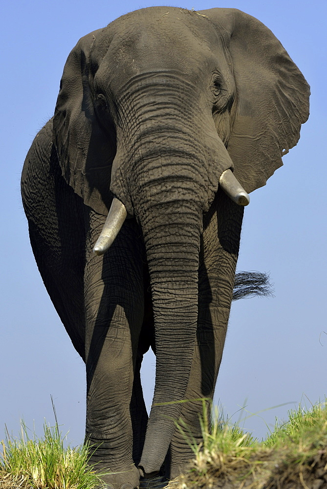 African Elephant on the bank, Chobe Botswana