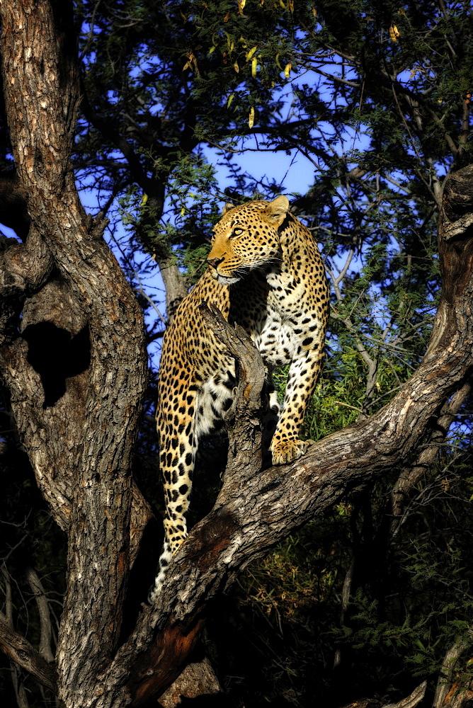 Leopard in a tree, Chobe Botswana
