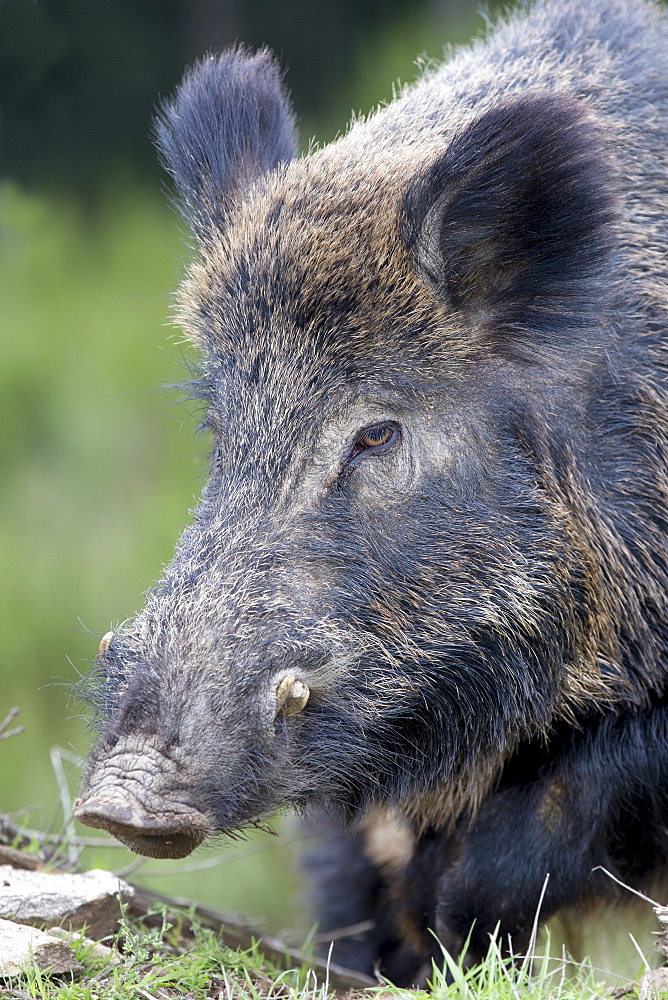 Portrait of Eurasian wild boar male, France