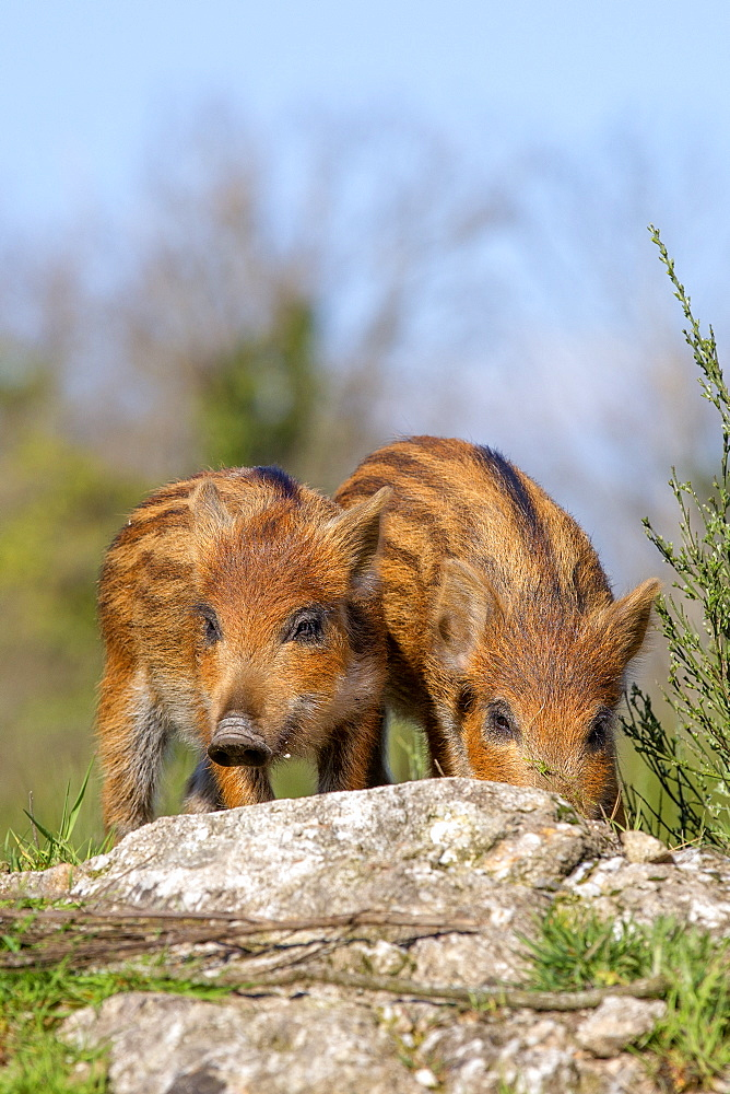 Eurasian wild boar young on rock, France