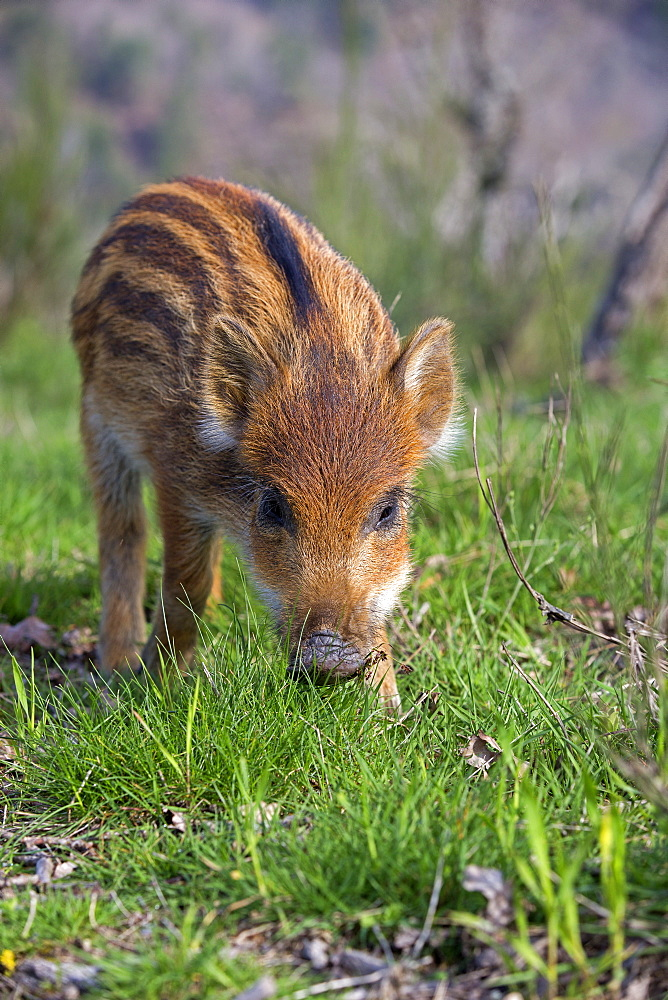 Young Pig Eurasia in the grass, France