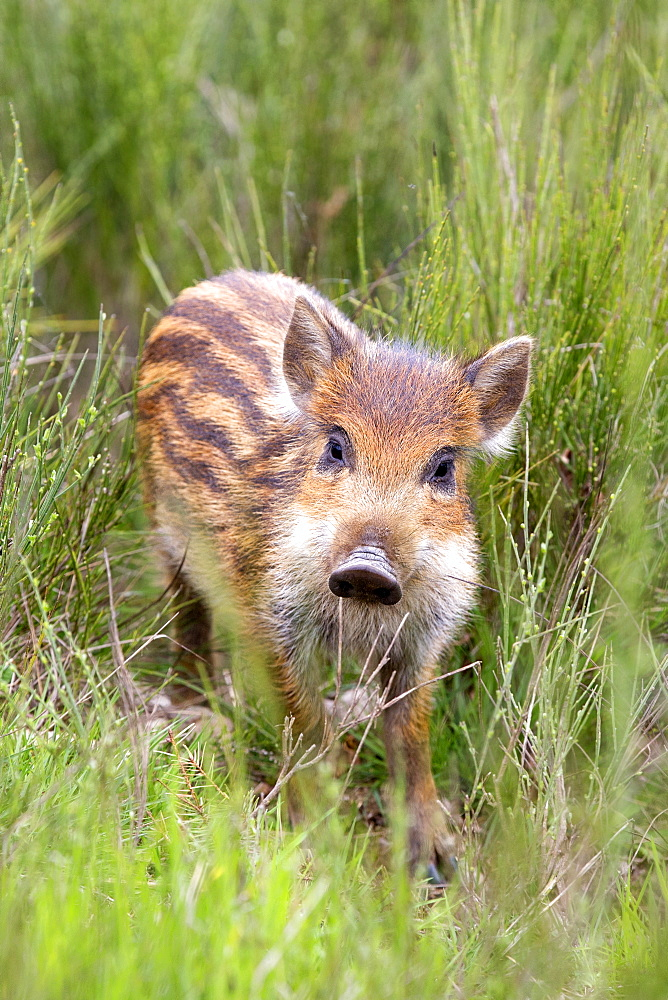 Young Wild Boar in the bushes, France