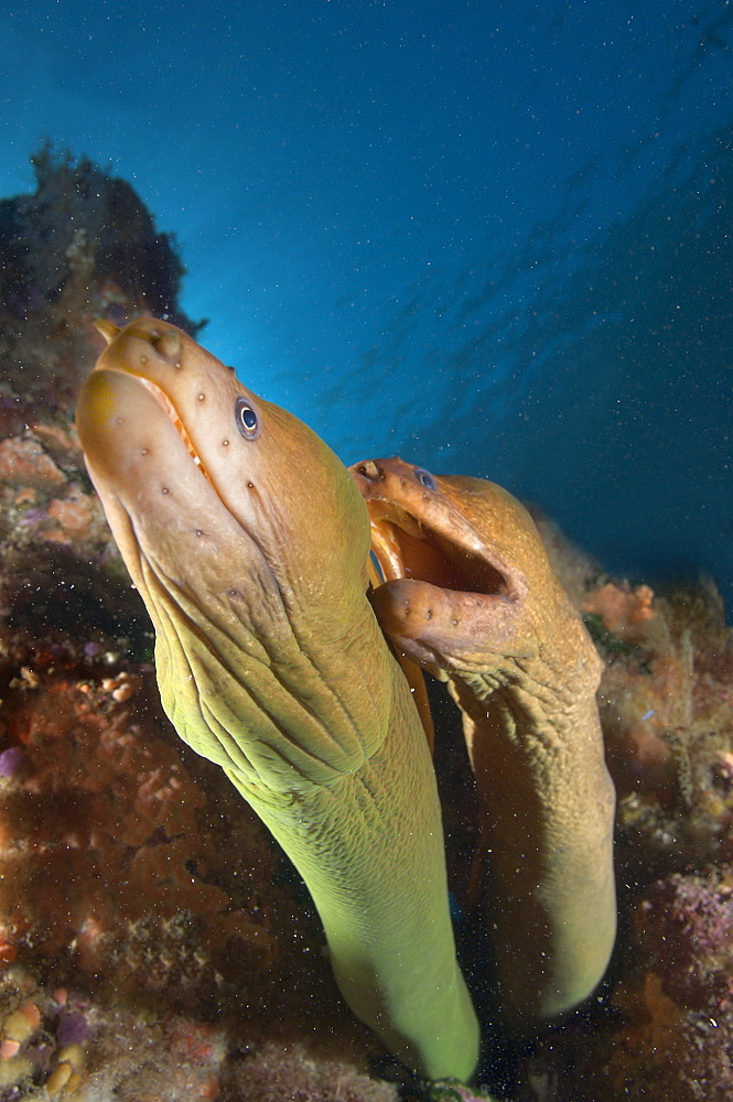 Yellow moray pair, Poor knights Island New Zealand