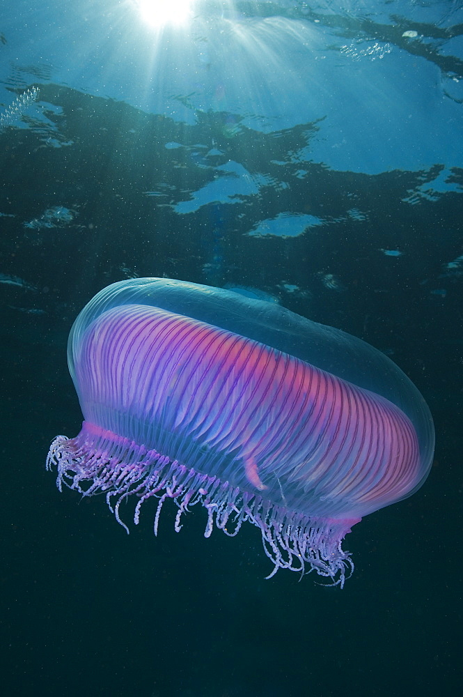 Lions mane jellyfish, Poor knights Island New Zealand