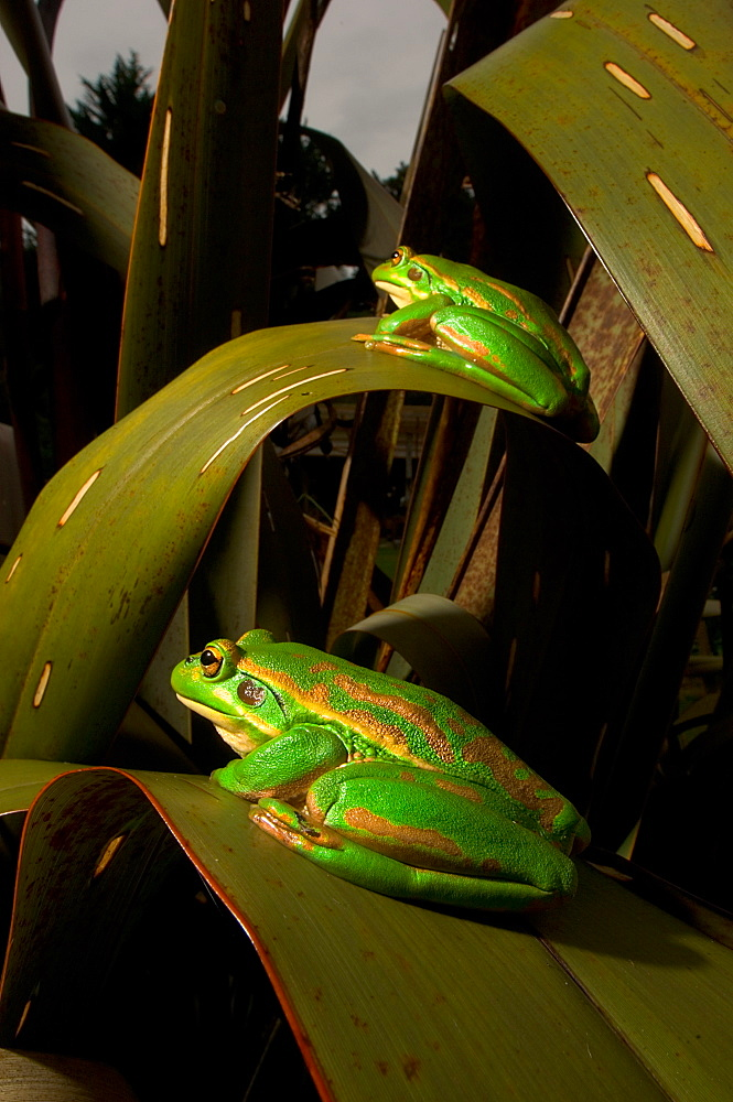 Golden bell frogs on leaves, New Zealand