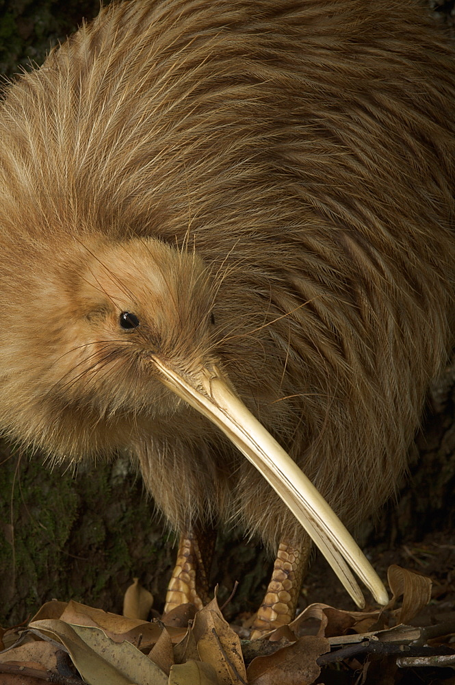 Portrait of Brown Kiwi- New Zealand