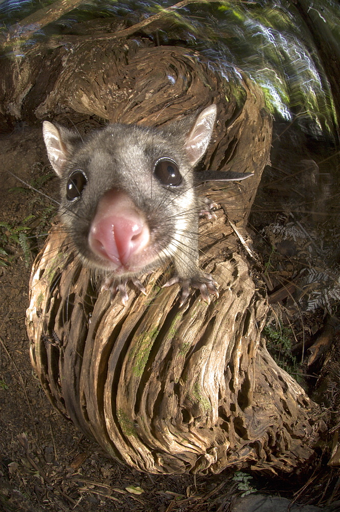 Juvenile Brushtail Possum on tree root, New Zealand