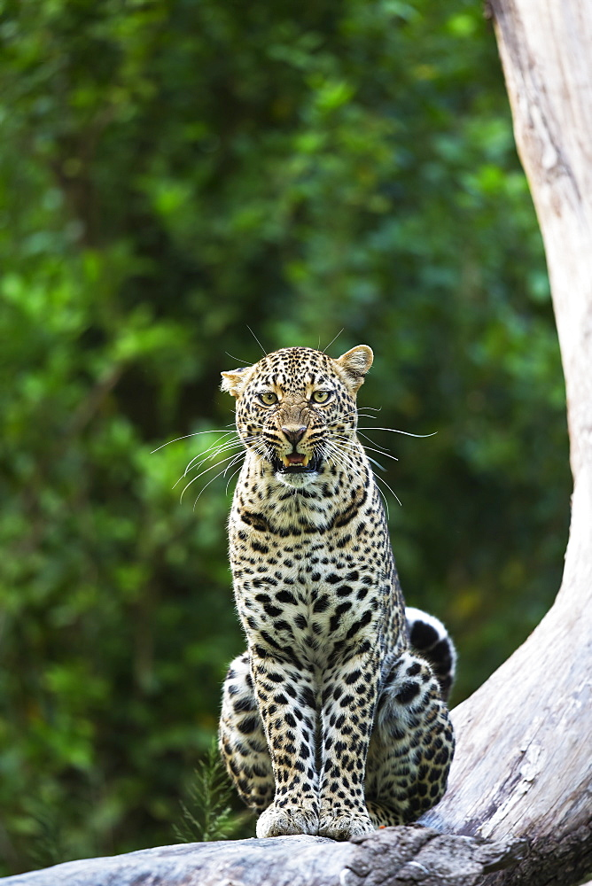 Leopard on a branch, East Africa