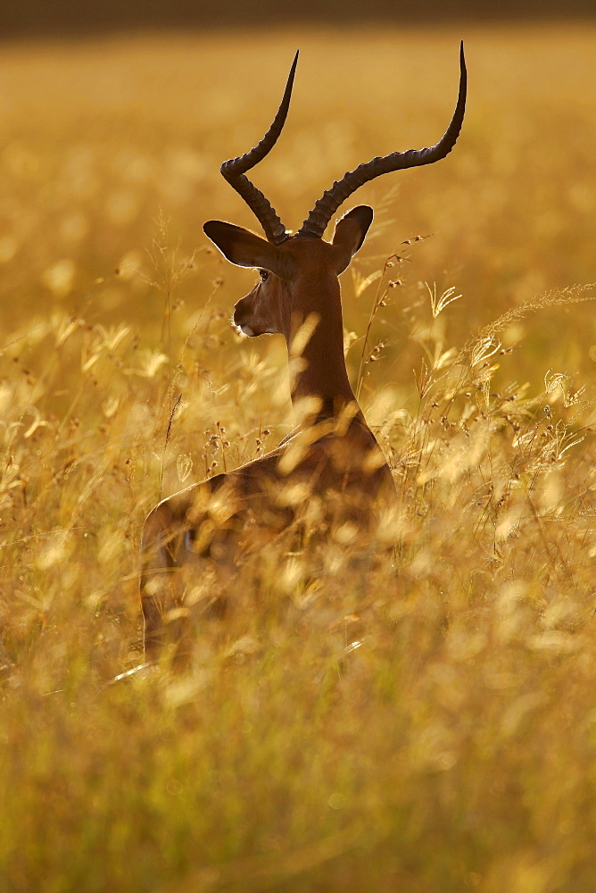 Impala in the tall grass, East Africa
