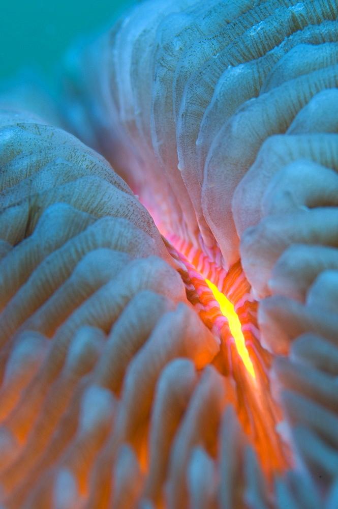 Mushroom coral detail, New Caledonia