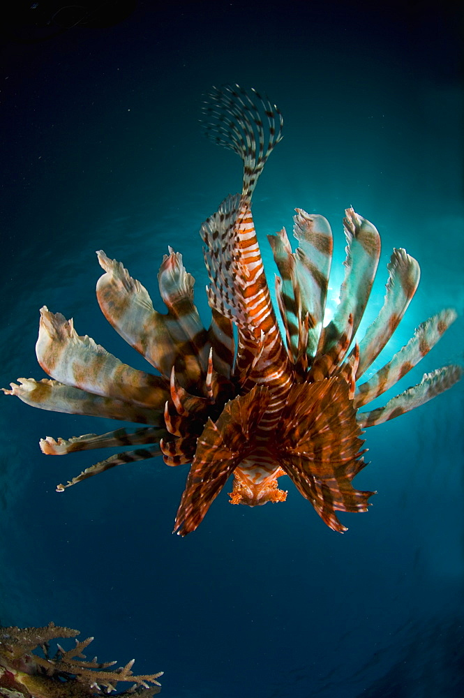 Red Lionfish swimming back, New Caledonia