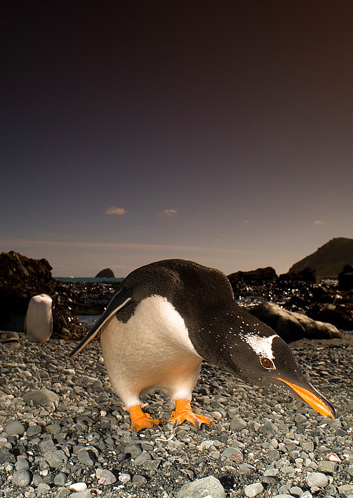 Gentoo penguin on shore, Maquarie Island  Australia