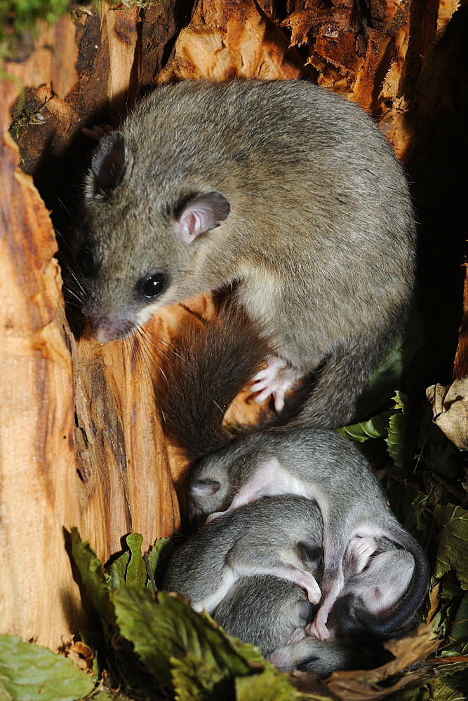 Fat Dormice and young in their nest in a hollow tree-France