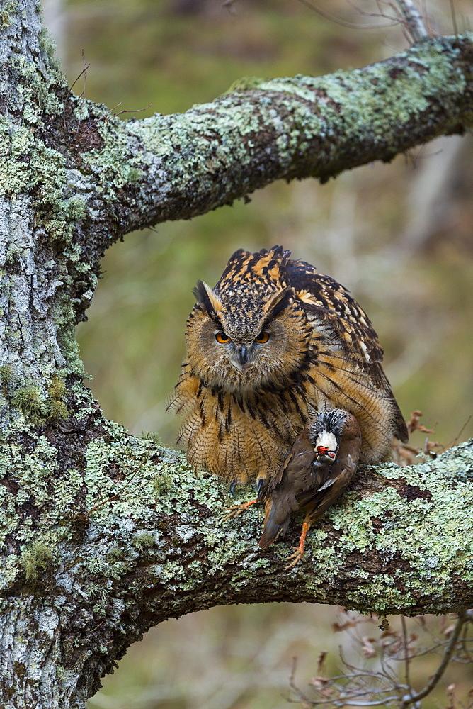 Eurasian Eagle-owl with prey on a branch, Cantabria Spain