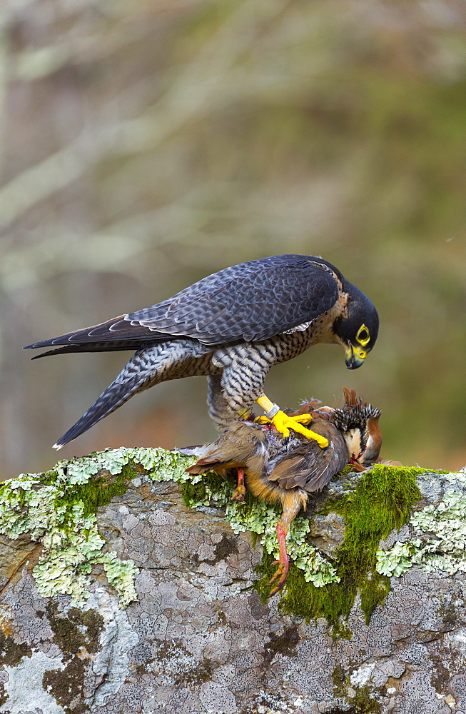 Pelegrine Falcon eating a Partridge, Cantabria Spain
