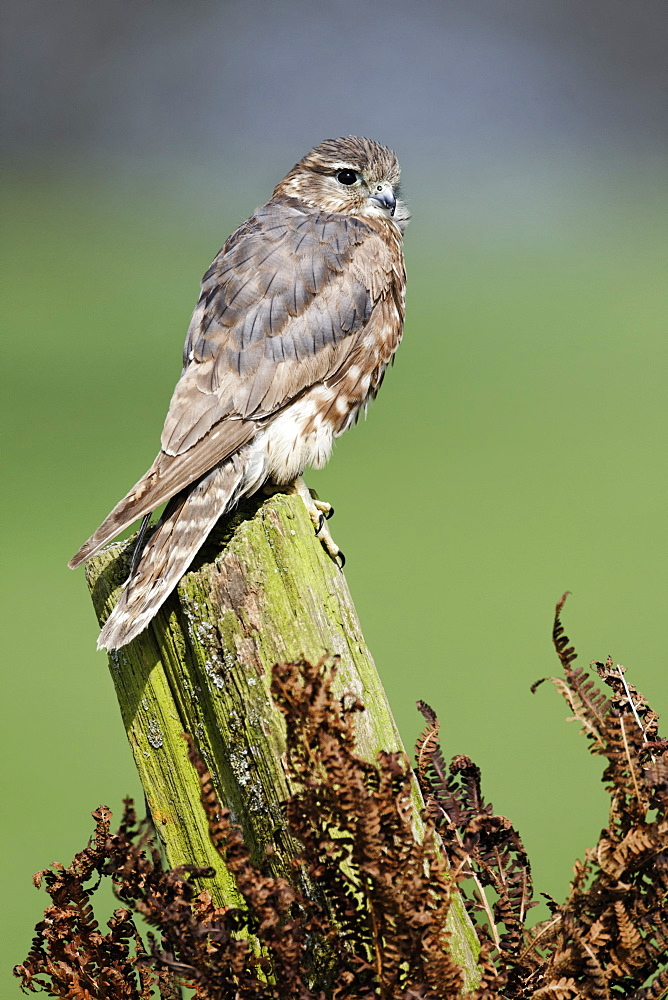 Merlin female on post, Britain UK