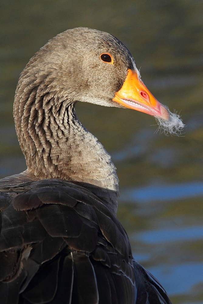 Portrait of Bean Goose, France