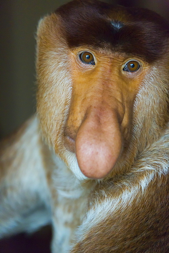 Portrait of male Proboscis Monkey