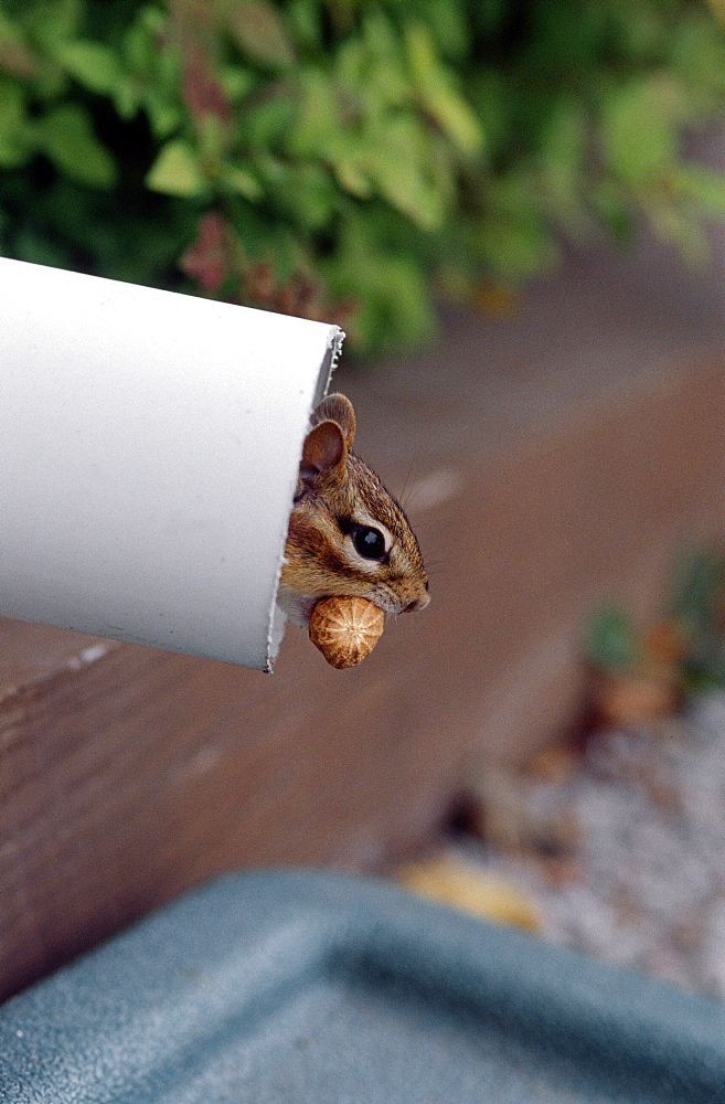 Siberian chipmunk in a gutter and peanut, Canada