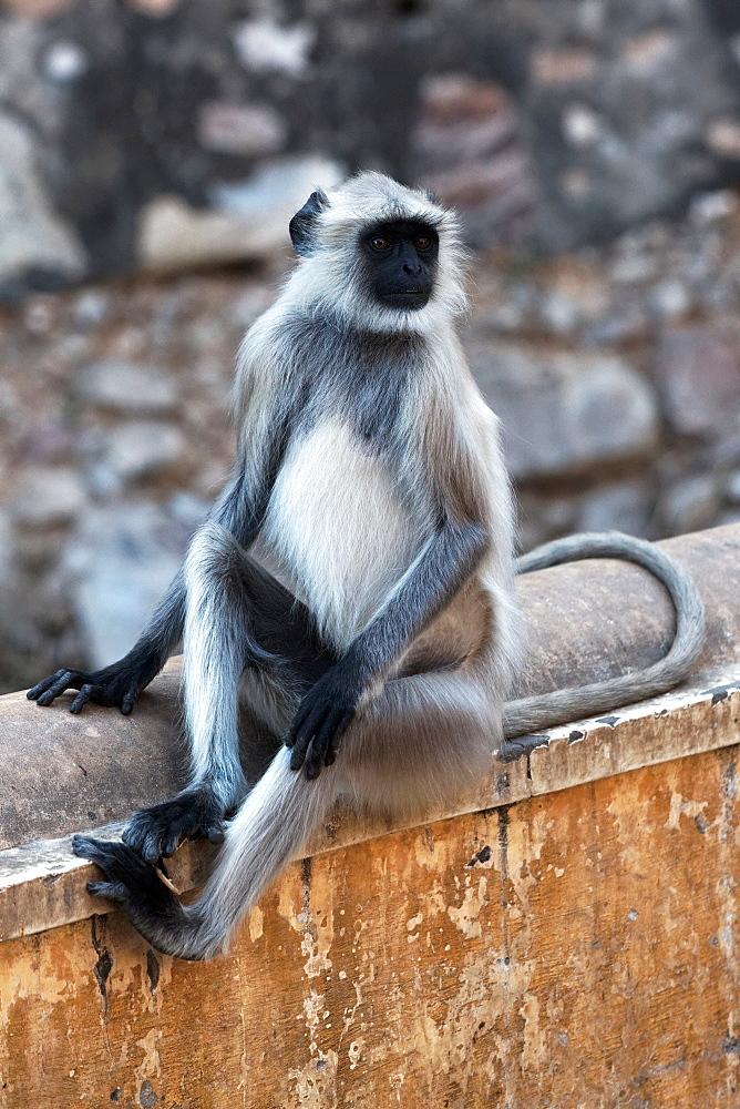 Hanuman Langur sitting, Galta Temple Rajasthan India