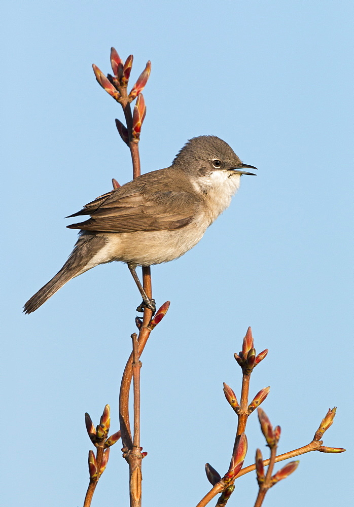 Male Lesser Whitethroat singing at spring, GB